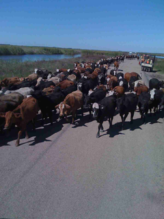 One passing challenge during the project was a herd of cattle being driven down the road by some horsemen. Since work was halted for a short period, the crew took a few photos as the herd waddled past.  (Photo: Big River Industries)