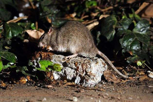 A rat near San Francisco's Central Tunnel construction. Credit: Michael Short, The Chronicle