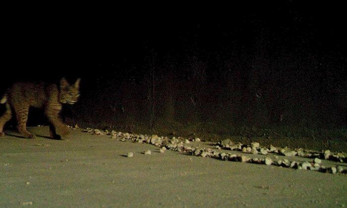 bobcat walking towards wildlife crossing area
