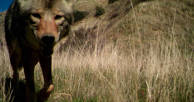 coyote in brush